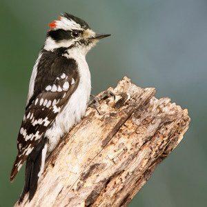 Downy_Woodpecker01